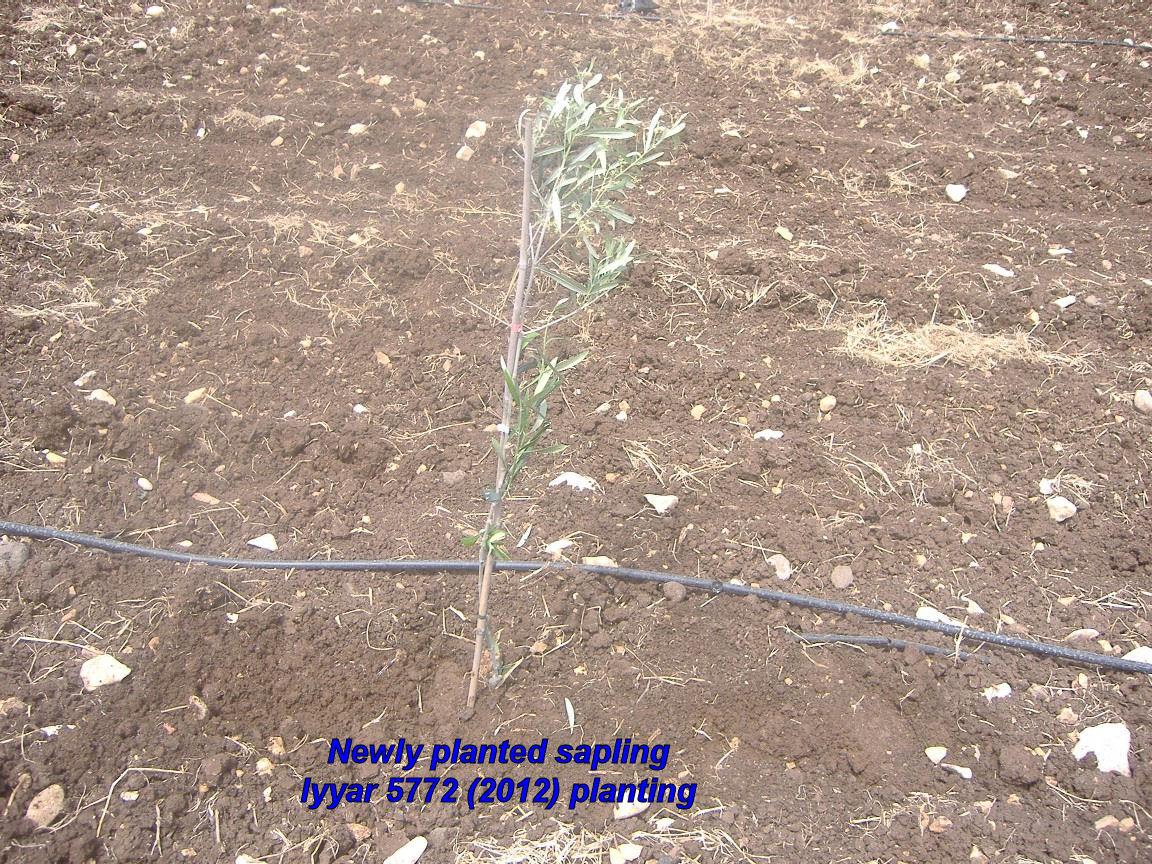 Newly planted sapling - Iyyar 5772 planting