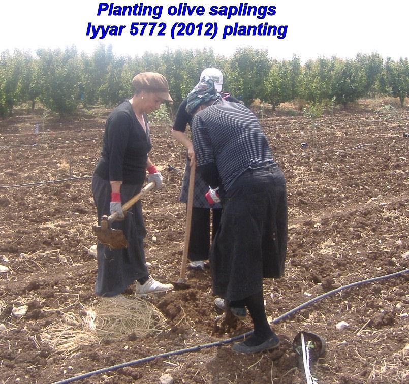 Planting olive saplings - Iyyar 5772 planting