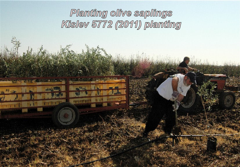 Planting olive saplings - Kislev 5772 planting