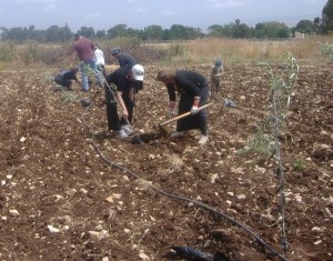 Digging up the ground for more saplings - Iyyar 2012