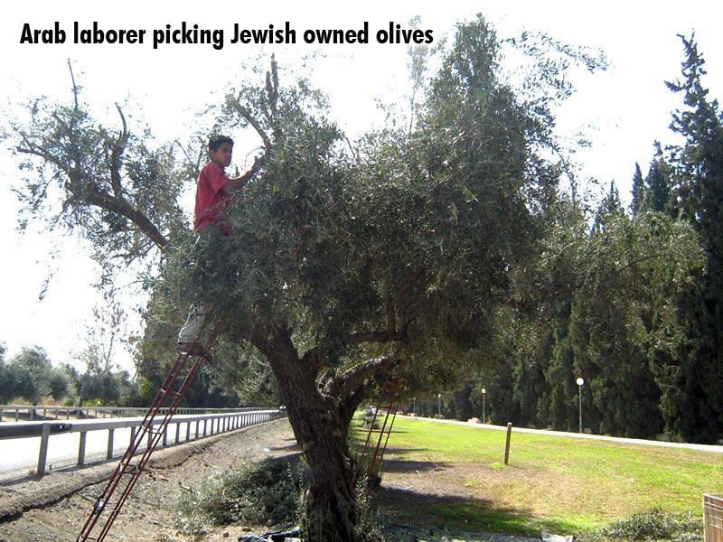 Arab laborer picking Jewish owned olives