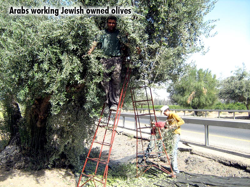 Arabs working Jewish owned olives