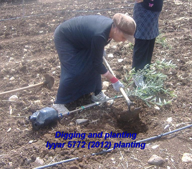 Digging and planting - Iyyar 5772 planting