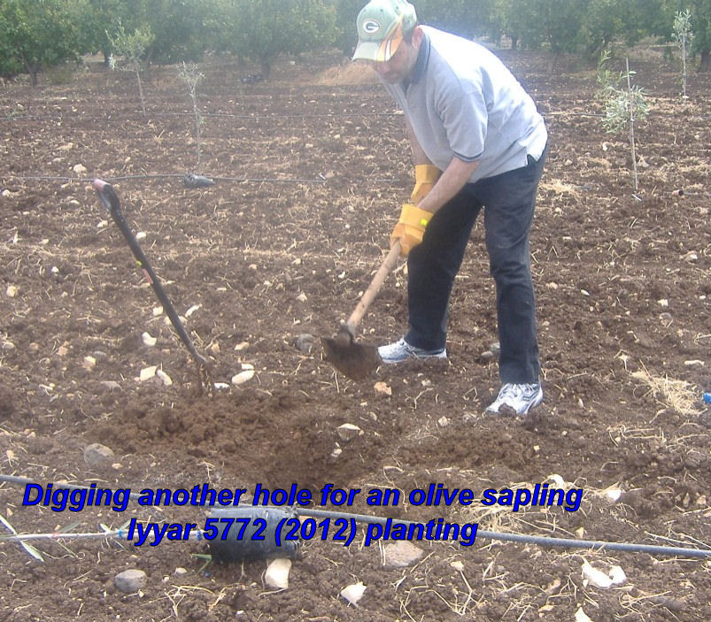 Digging another hole for a sapling - Iyyar 5772 planting