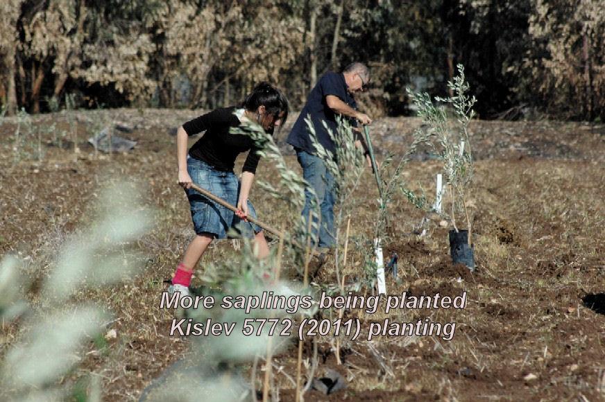More saplings being planted - Kislev 5772 planting