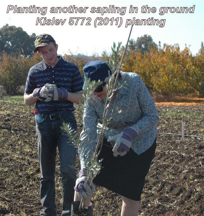Placing another sapling in the ground - Kislev 5772 planting