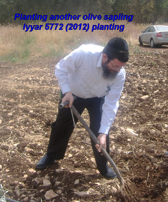 Planting another olive sapling - Iyyar 5772 planting