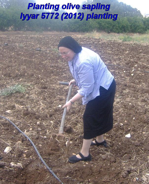 Planting olive sapling - Iyyar 5772 planting