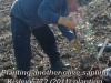 Planting another olive sapling - Kislev 5772 planting