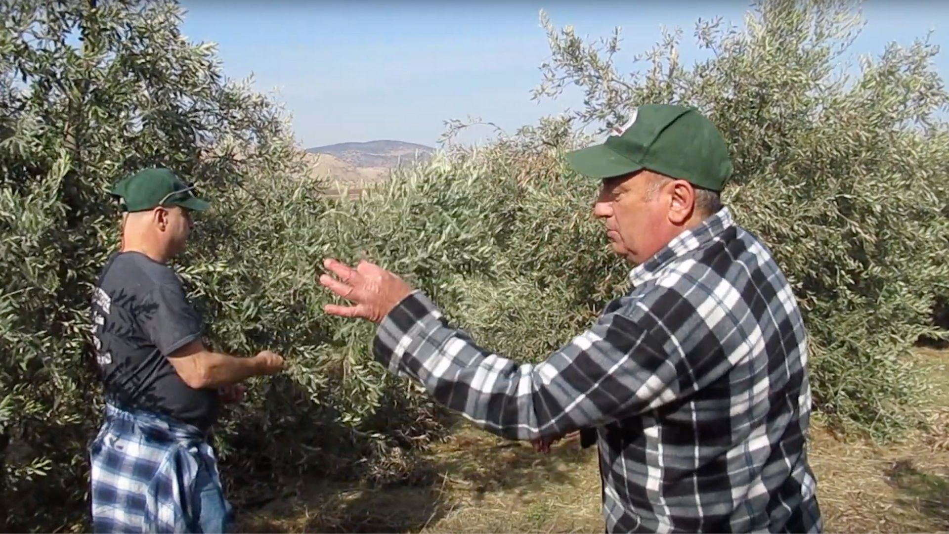Olive growth land in Israel